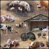 Thumbnail Image mtn-elizabethsstudio_farmanimals.jpg
